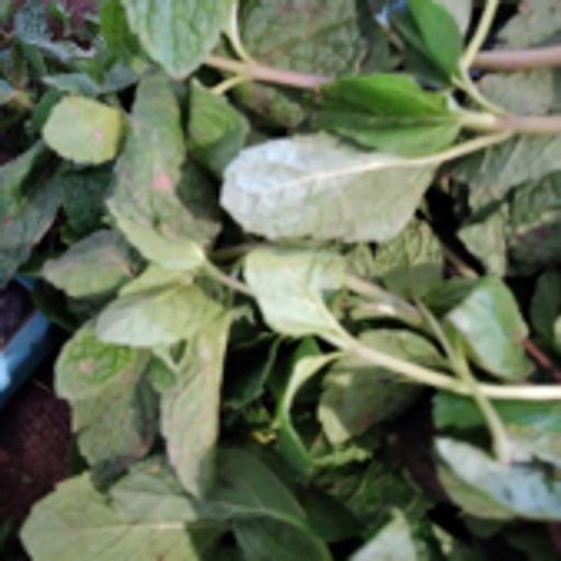 سبزی تازه - نعنا